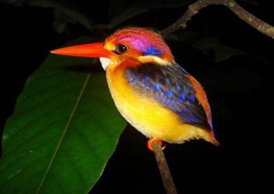 15. Oriental-Dwarf-Kingfisher